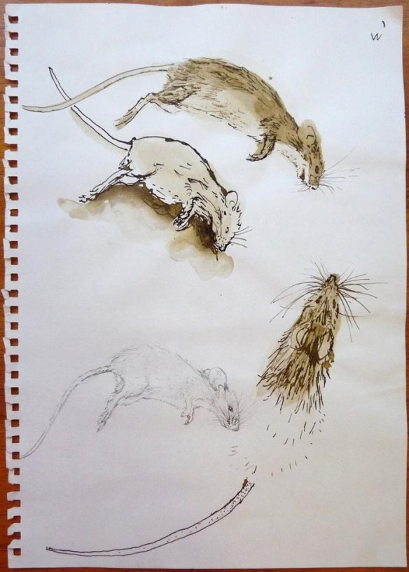 dead mouse, ink and pencil on notebook page © Belinda Broughton