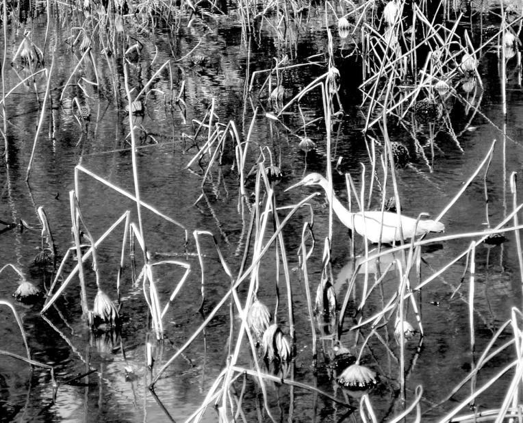 heron-pond
