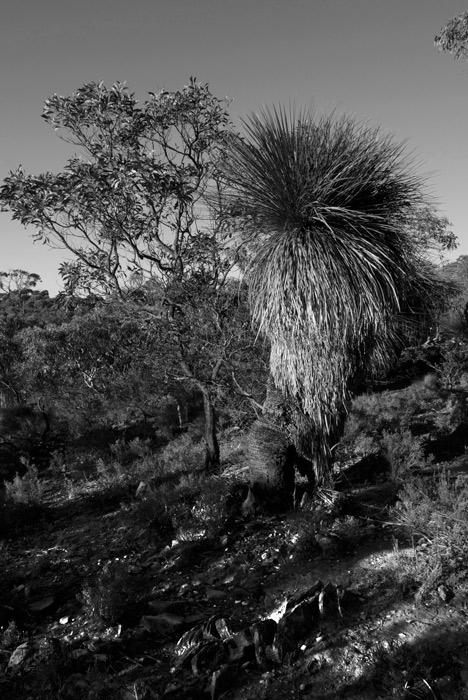 old-grass-tree