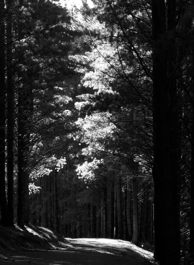 pine-forrest