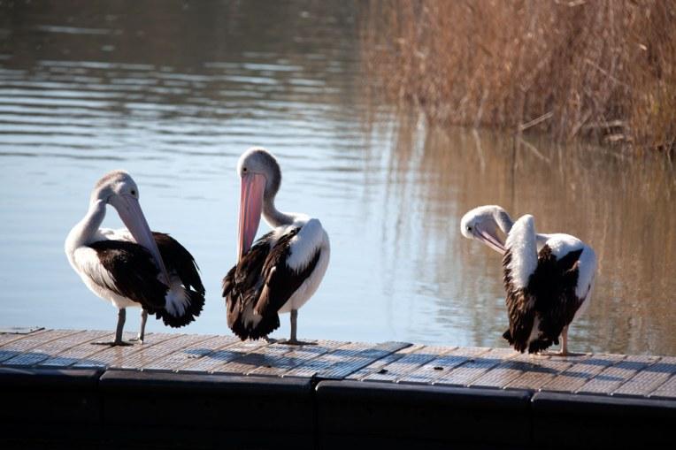 pelicans-preening