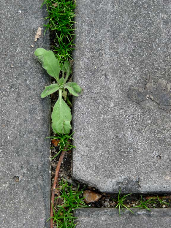 weeds-in-crack