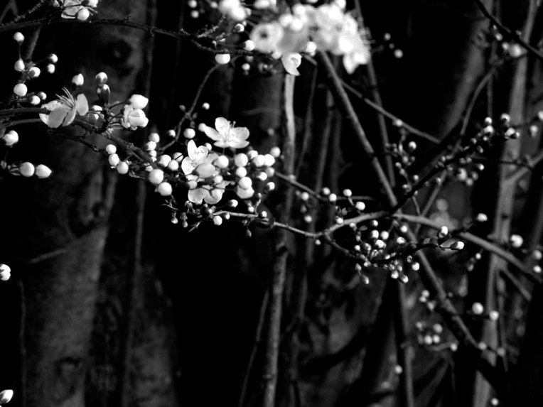 plum-flowers
