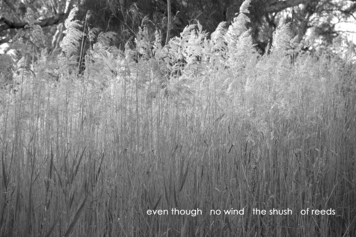 even though/no wind/the shush of reeds
