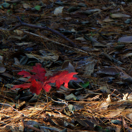 Broughton_autumn-sapling2